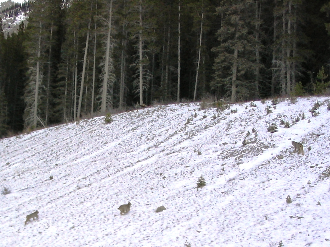 Family of Lynx in K-country