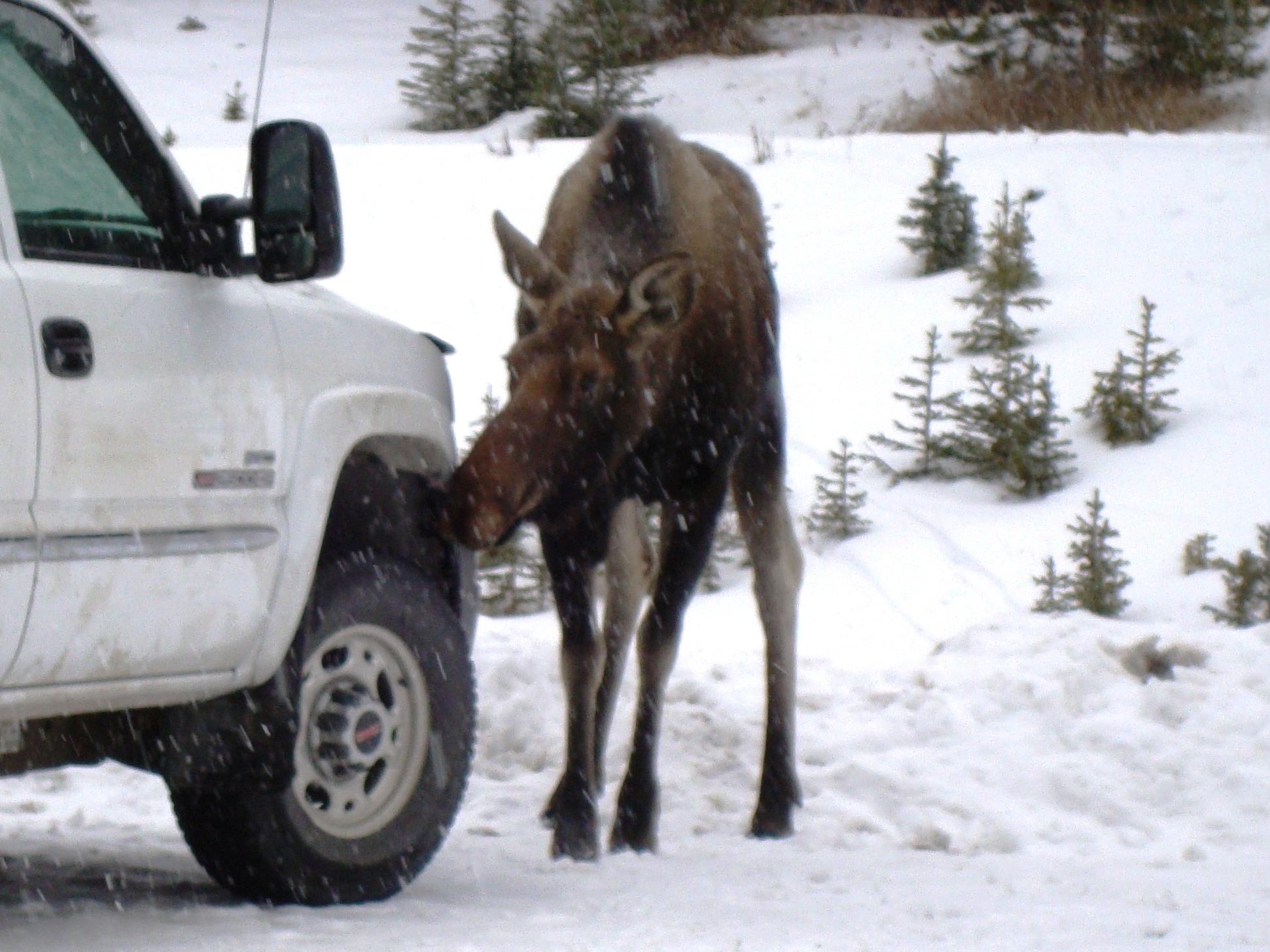 Moose licking salt in Chester lake parking lot