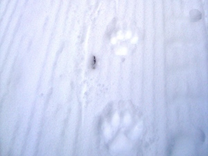 Cougar tracks on Goat Creek  Dec 30, 2008