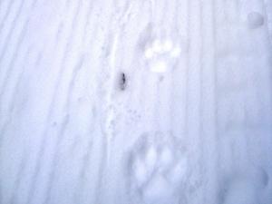 Cougar tracks on Goat Creek Dec 30, 2008